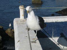 #gaviota #concon #Viñadelmar #chile #fotografia #foto #photography #fotografia Chile, Animals, Gull, Fotografia, Pictures, Animales, Chili, Animaux, Chilis