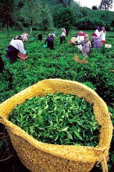 Lahijan tea harvest, Gilan Province, northern Iran