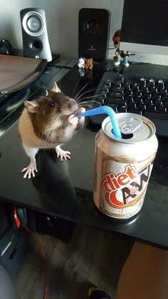 Maybe this is how lab rats are used to test the danger of artificial sweeteners. small pets You are in the right place about Rodents logo Here we offer you the most beautiful pictures about the Rode Hamsters, Pet Rodents, Funny Rats, Cute Rats, Cute Little Animals, Cute Funny Animals, Rata Dumbo, Rats Mignon, Animal Pictures
