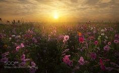 Cosmos in the morning by RattapongRatwiwattanapong. Please Like http://fb.me/go4photos and Follow @go4fotos Thank You. :-)