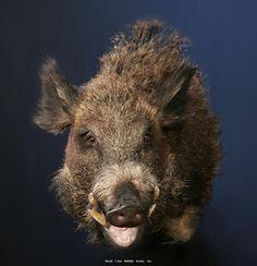 Russian Boar Head Mount
