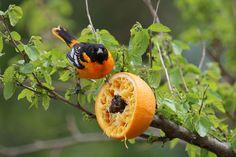 Make an Orange Feeder for Orioles | Audubon