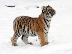 24 Photos Of Cute And Playful Tiger Cubs Cubs Pictures, Tiger Pictures, Full Hd Pictures, Cute Tiger Cubs, Cute Tigers, Tiger In Water, Cubs Wallpaper, Tiger Sketch, Baby Animals