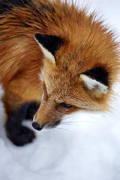 Renard roux / Red Fox on Behance Otter, Animals Beautiful, Cute Animals, Fox Totem, Fabulous Fox, Pet Fox, Little Fox, The Fox And The Hound, Fox Art