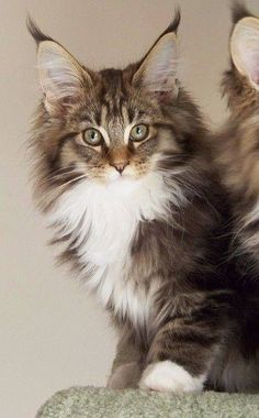 Super cat *:) http://www.mainecoonguide.com/how-to-tell-if-a-kitten-is-a-maine-coon/