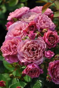 Big kiss ➡For ƴℴu Exotic Flowers, Pretty Flowers, Purple Flowers, Yellow Roses, Daffodil Flower, Cactus Flower, Rose Pictures, Flower Photos, Roses David Austin