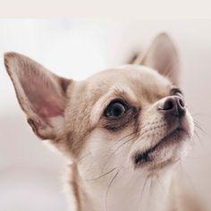 Primo piano di #Chihuahua :-) #cani