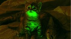 glow in the dark cats. these are real! (but genetically motified).