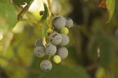 You can use any kind of wild grape for making juice; you can even combine different types of grape in a single batch.