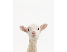 Lamb Close-Up