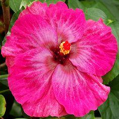 Exotic Hibiscus Wild Lilac