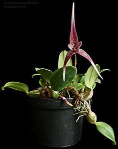 Florzinha de estufa: Bulbophyllum woelfliae