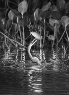 Génesis de Sebastiao Salgado. La biguatinga o pato aguja americano (Anhinga anhinga) es un ave acuática de gran tamaño, con una envergadura de 84 centímetros. Este ejemplar acaba de pescar una sardina de dos puntos (Astyanax bimaculatus) en el río Cuiabá, cerca de Porto Jofre, en el norte del Pantanal. Mato Grosso. Brasil. 2011.