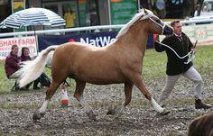 Photo Archive Menai Golden Star Royal Welsh Show Mare 2009 : Rainhill Welsh Cobs
