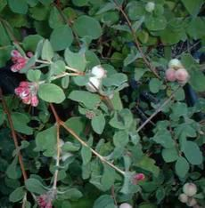 Symphoricarpos mollis. Southern California Snowberry has pink flowers and white berries. - grid24_6