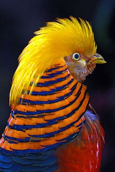 198 best Golden Pheasants images on Pinterest   Beautiful birds     Golden Pheasant by Eric Perlstrom on Flickr