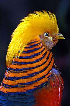 Golden Pheasant by Eric Perlstrom on Flickr.