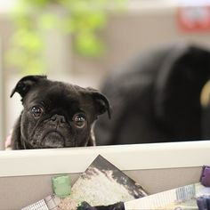 Take Your Pug To Work Day