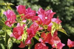 Bouganvillea Bush  Full sun, compact bush, 3 to 4 ft. Mounds, Blooms summer...almost year round)