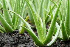 What should be considered while growing Aloe Vera? What should be considered while growing Aloe Vera? The aloe vera plant has become one of the most recognized and most recently … Indoor Plants, Plants, Herbs, Medicinal Plants, Poisonous Plants, Succulents, Plant Care, Garden, Aloe Vera Plant