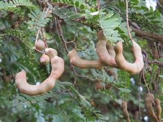 16 Hastalığın Devası Onda, Sofranızda Mutlaka Bulunsun - Home Tamarind Fruit, Tamarind Paste, Small Yellow Flowers, Red Flowers, Tamarindus Indica, Marmalade Recipe, Tree Seeds, Types Of Soil, Growing Tree