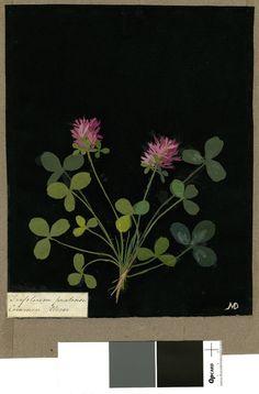 clover  Mary Delany (British; Female; 1700 - 1788)