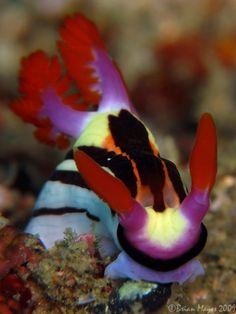 Nembrotha purpureolineata from Lembeh, Indonesia