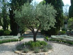 Olive trees with borders of rosemary and lavender (or Russian Sage) for entryway on drive. Large pebbles?