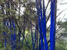 Manuka trees with trunks painted blue, at Brick Bay Sculpture Trail last year.