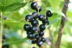 Here's how black currant oil can help prevent and treat thinning hair, correct dosage to take for hair loss and other health benefits of black currant seed oil for your skin, body and brain. Black Currant Oil, Oil For Hair Loss, Black Currants, Essential Fatty Acids, Essential Oils, Plantation, Natural Cures, Natural Flavors, Queen