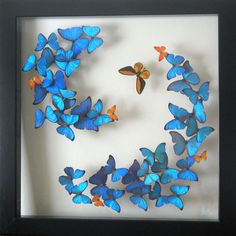 framed butterflies one of our most popular displays the morpho swirl featuring an orange