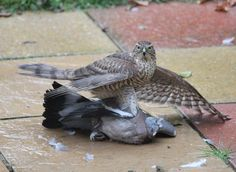 A sparrowhawk grappling with a pigeon. Picture: Des Sudworth  Pigeon fanciers all over the land are wringing their flat caps in despair at the rising numbers of the biggest culprits, sparrowhawks, which they say are taking about 75,000 birds a year.  A campaign, backed by former England footballer Gerry Francis, has been launched by the Royal Pigeon Racing Association (RPRA), calling for laws to allow pigeon fanciers to trap sparrowhawks and relocate them.