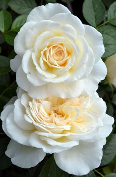 Cream Abundance - Floribunda, white, 50+ petals, 1999, not yet rated by ARS