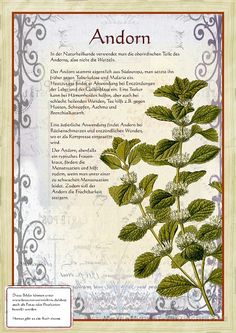 Bilder aus dem Buch Alte Heilkräuter-Zeichnungen > Marrubium vulgare-Hurtanminttu