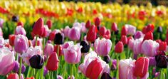Spring In Asheville ... Biltmore House Tulips | Click through photo for the Asheville NC Mountains Travel Guide 2015 - from Romantic Asheville