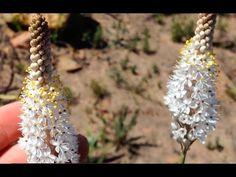 Bulbinella graminifolia in habitat Rare Cats, Habitats, Elegant, Flowers, Pink, Color, Plant, Classy, Colour