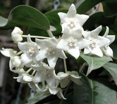 Hooked on Hoya cubit: Hoya talk forum: Hoyas with nice fragrance