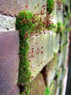 Growing in the space between red bricks in a brick wall, green moss. Plantation, Dream Garden, Garden Inspiration, Mother Nature, Outdoor Gardens, Planting Flowers, Garden Design, Nature Photography, Succulents