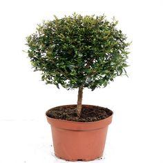 Mirt (Myrtus communis) | Plante de vanzare | Flowertime.ro