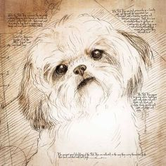 """Shih Tzu Tilted Head"" Detail of a Da Vinci style drawing Shih Tzu Puppy, Shih Poo, Shih Tzu Mix, Shiz Tzu, Yorkies, Dog Grooming Business, Animal Books, Lhasa Apso, Pet Portraits"