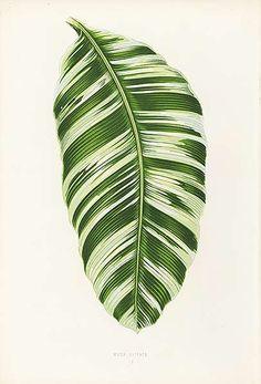 tropical botanic illustration vintage - Buscar con Google