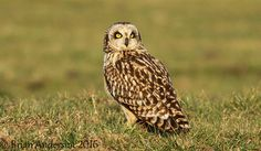 Short-eared Owl at Elmley by Brian Anderson http://focusingonwildlife.com/news/short-eared-owl-at-elmley/