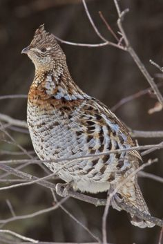 """Ruffed Grouse (Bonasa umbellus) is a bird hunted by Aldo during his October section. """"There are two kinds of hunting: ordinary hunting, and ruffed-grouse hunting"""" (page The bird does look tasty, but is its hunting unparalleled? Grouse Hunting, Hunting Dogs, Hunting Birds, Rabbit Hunting, Pheasant Hunting, Exotic Birds, Colorful Birds, All Birds, Love Birds"""