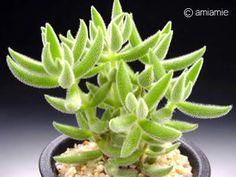Crassula mesembrianthoides 銀箭