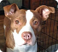 Hi ya! My name is Sadie Mae! I am a 1-year-old, spayed female mutt in search of a loving forever home. I am friendly and affectionate. I love to love! I am also playful and silly. I love toys and playing with other dogs. I weigh 40 lbs and my playmates in foster care are two giant Great Danes. I'm also great with kids. I am housetrained and create trained. I am a smart girl who is learning new things all the time. I know come and sit. I love playing in the yard and going for walks.