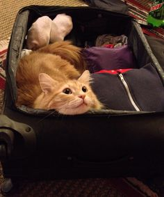 Daily Fluff: Samsonite promises 'room for cats' in latest luggage line