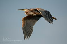 Purple heron by MarcelOut #animals #animal #pet #pets #animales #animallovers #photooftheday #amazing #picoftheday