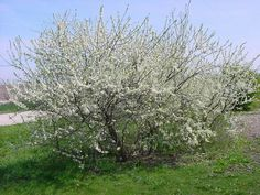 plum trees in bloom | Flickr - Photo Sharing!