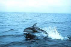 Pacific white-side dolphin