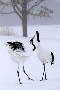Japanese Crane in the Winter time  - Nobles of Japan used to eat crane and turtles - two animals representing longevity. When the ban on commoners consuming crane was abolished, the animals were nearly wiped out. Few remain today and efforts to breed and release more into the wild continue.